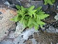 Karvakiviyrtti (Woodsia ilvensis).jpg