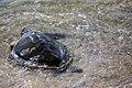 Kemps Ridley Turtle (Lepidochelys kempii) (6307264526).jpg