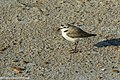Kentish Plover - Algarve - Portugal CD5A5632 (48054728767).jpg