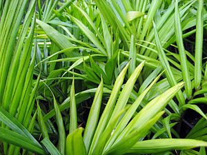 Rhopalostylis baueri - Seedlings of R. baueri grown for sale in New Zealand