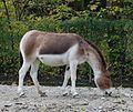 Kiang Equus kiang Tierpark Hellabrunn-1.jpg