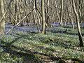 King's Wood in Bluebell season 09.JPG
