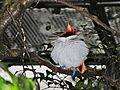 King Bird-of paradise Cicinnurus regius (6970131586).jpg