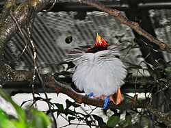 King Bird-of paradise Cicinnurus regius (6970131586).jpg