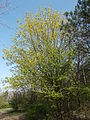Kis-Sváb Hill Protection Area. Tree. - Budapest.JPG