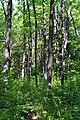 Kivertsi Volynska-Lisodub nature monument-trees.jpg