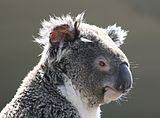 Koala (Phascolarctos cinereus), Sídney, Australia18.JPG