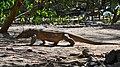 Komodo Dragon, Komodo, 2016 (07).jpg