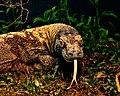Komodo dragon (Varanus komodoensis) (5527963992).jpg