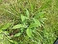 Korina 2014-07-12 Lathyrus latifolius 4.jpg