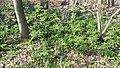 Korina 2019-03-30 Mahonia aquifolium.jpg