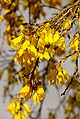 Kowhai Blooms with Leaf Buds.jpg