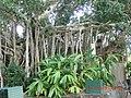 Kuranda QLD 4881, Australia - panoramio (10).jpg