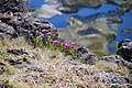 Květy na Orongu - panoramio.jpg