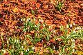 Kvetoucí sněženky v PP Sněženky ve Vysokém lese 48.jpg