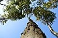 LSG Kühlung - Nienhäger Holz (Gespensterwald) - Blick nach oben (15).jpg