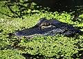 LWNWR Gator01.jpg