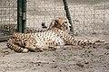 La-Palmyre-zoo 076-Guepard.jpg