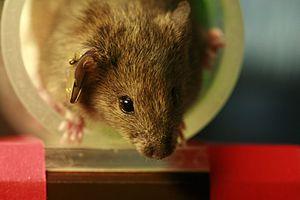 Laboratory mouse