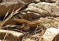 Lacerta viridis LC0059.jpg