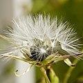 Lactuca canadensis (3362994394).jpg