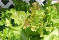Lactuca sativa Bistro Salad Blend 0zz.jpg