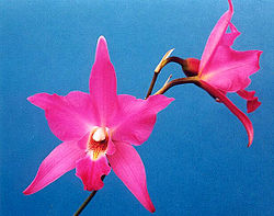 meaning of laelia