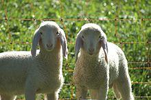 ¿Existe el masculino de oveja?