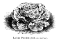 Laitue Passion Vilmorin-Andrieux 1904.png