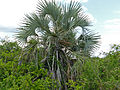Lala Palm (Hyphaene coriacea) (11531392816).jpg