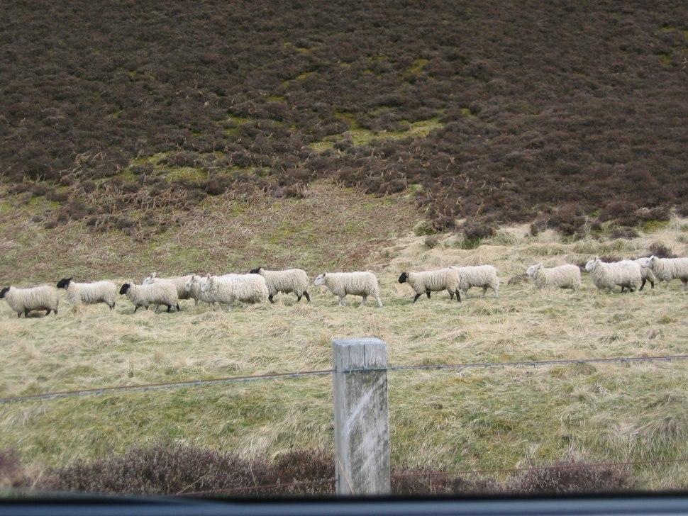 Lammermuir sheep