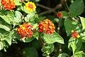 Lantana camara flowerhead NC4.jpg