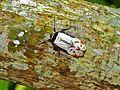 Lantern Bug (Penthicodes farinosa) (7136242259).jpg
