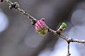Larix decidua female.jpg