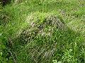 Lasius flavus DSC09070.JPG