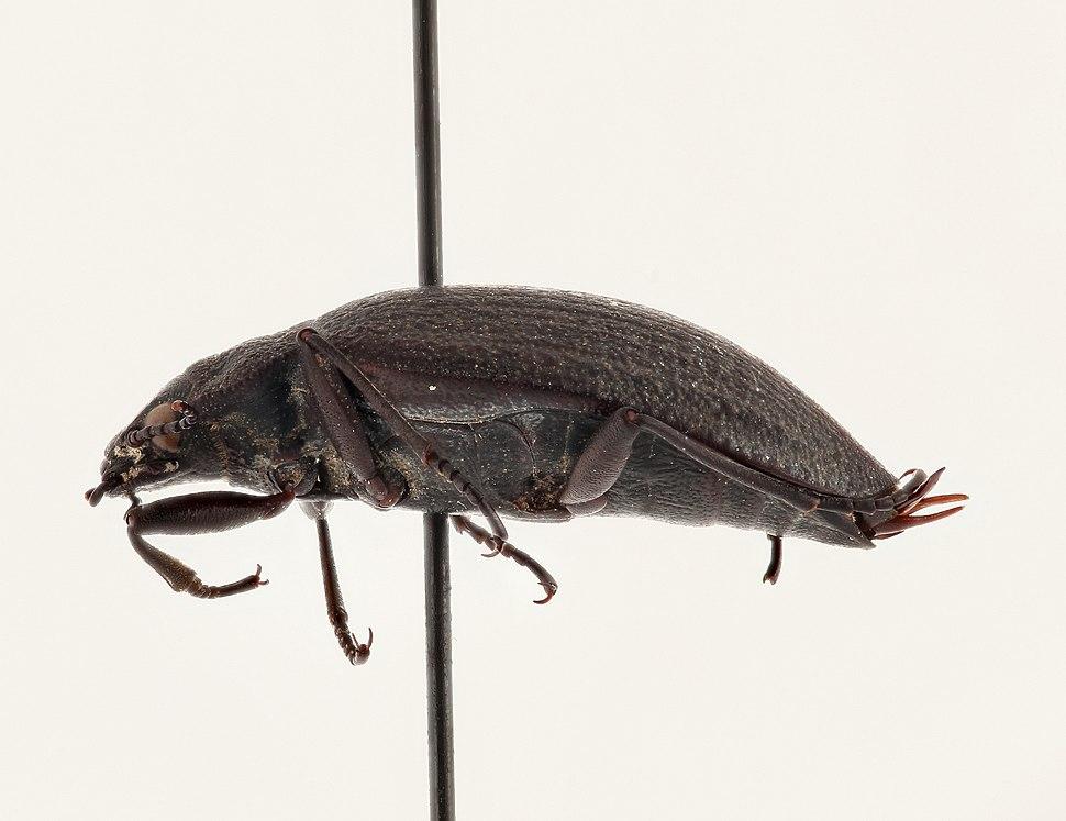 Lateral - Amphizoa insolens