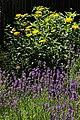 Lavendelbeet im Innenhof 05.jpg