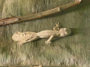 Uroplatus fimbriatus - Image: Leaf Tailed Gecko P9240101