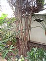 Leea rubra - Denver Botanic Gardens - DSC00937.JPG