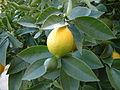 Lemon, DSCF2711.jpg