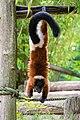 Lemur (35805579903).jpg