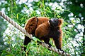 Lemur (36476882491).jpg