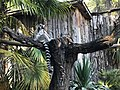Lemur catta at Giardino zoologico di Pistoia.jpg
