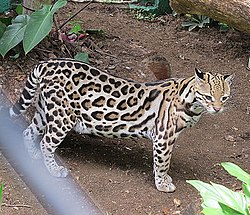leopard katt pris