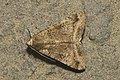 Lepidoptera (15450386203).jpg