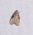 Lepidoptera (26197223902).jpg