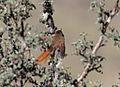 Leptasthenura yanacensis Peru 3.jpg