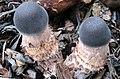 Leucoagaricus americanus (Peck) Vellinga 566985.jpg