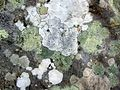 Lichen on one of the stones at the Ring of Brodgar - geograph.org.uk - 613710.jpg