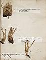 Lichenes Helvetici III IV 1842 006.jpg